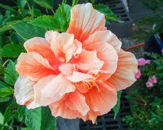 Hibiscus 'Double Orange'