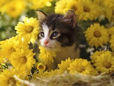 Sweet kitty in a yellow flower bed.