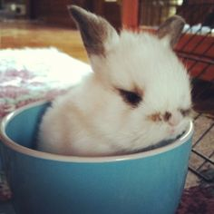 baby lop ear bunny ~ adorable!