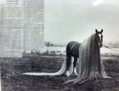 """""""In the case of ''Linus I"""" the mane was 18 feet long and the tail 21 feet. The parents and grandparents of these horses also had unusually long hair, which increased in successive generations. The data are insufficient to show the relation of dominance and recessiveness in this case, but the persistence of the long hair seems to indicate its dominance."""""""