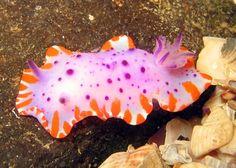 The Sea Slug Forum - Mexichromis macropus