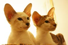boy Baranor and girl Beleth available  for breeding and show  d.o.b. 11 October 2012