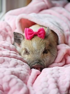 Piggy in Pink Little pig. Cute Baby Pigs, Cute Piglets, Cute Baby Animals, Animals And Pets, Funny Animals, Farm Animals, Pet Pigs, Guinea Pigs, Teacup Pigs