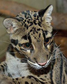 The Toronto Zoo is home to two new clouded leopards, Mingma and Pavarti!   #cloudedleopard #leopard #animals #cute #torontozoo