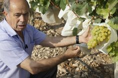 The grape Vinalopo Valley is the best protected in the world