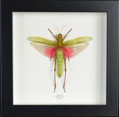 Criquet géant véritable Chondacris rosea encadré naturalisé : Décorations murales par papillon-ulysses