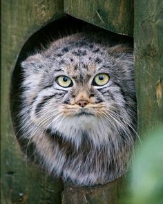 Manul, otherwise known as Pallas's Cat