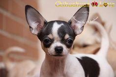 Chihuahuas Love - Opiniones Clientes Chihuahuas-Love. Quien Escribe Las Opiniones.