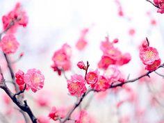 Pretty Peach Blossoms