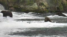 I'm watching #bearcam on @exploreorg, streaming live from Brooks Falls, Alaska at @KatmaiNPS:   Otis and 3 other adults, not Walker