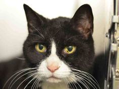 NYC TO BE DESTROYED 05/01/15 Wonderful ORBITZ is being stoic considering she's Lost her Person, her home & on a KILL list. Orbitz interacts with the observer, appreciates attention, is easy to handle & tolerates all petting.ID #A1033832. Female black & white about 7 YEARS old. SEIZED- OWNER DIED. I came in with Group/Litter #K15-010767. https://www.facebook.com/nycurgentcats/photos/a.998500743501246.1073742671.220724831278845/998500823501238/?type=3&theater
