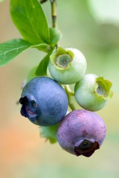 Blueberries ~ Ripening on the vine.