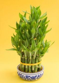 Suggest using bamboo to attract vibrant fresh chi because the bamboo