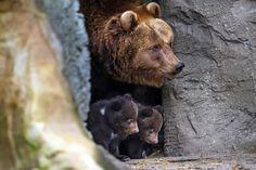 Brown bear Mascha and her cubs peek out a cave at Hagenbeck zoo in Hamburg, Germany, April 11. (MAJA HITIJ/EPA)