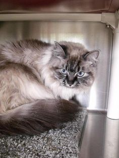 Meet Isabella # 140317 a Petfinder adoptable Siamese Cat | Lebanon, OH | This is just one of the great pets at the shelter waiting for a home.  We have dogs and cats...