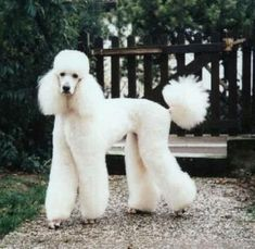 Standard Poodle, White More #poodlefunny
