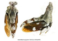 Membracidae Gen sp78
