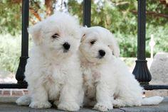El Bichon maltés es una raza de perro de tamaño pequeño que surgió en el Mediterráneo central siendo Italia quien tomó el patrocinio.