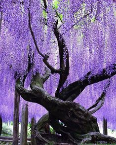 35 best garden flower tree ideas for spring If you are like me and winter is a bit long for you, make sure your garden has plants that bloom early, which means you can get them as ea. Wisteria Garden, Wisteria Tree, Wisteria Japan, Wisteria Wedding, Amazing Gardens, Beautiful Gardens, Beautiful Flowers, Beautiful Pictures, Magical Tree
