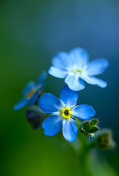 eyesfornature:  Forget me not by aussiegall
