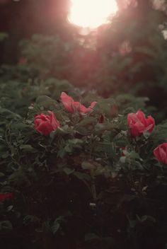 Vintage Roses #vintage #roses #summer #finland #sunset #bokeh #evening #beautiful #green #pink