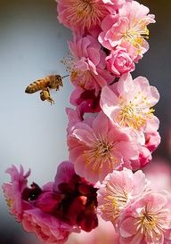 Bee & blossoming fruit tree