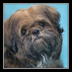 Check out Baron's profile on AllPaws.com and help him get adopted! Baron is an adorable Dog that needs a new home. https://www.allpaws.com/adopt-a-dog/shih-tzu/5859745?social_ref=pinterest