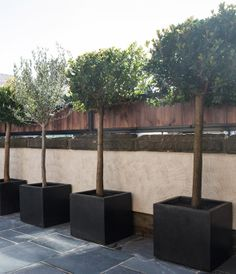 Strawberry trees (Arbutus unedo) and Olive trees (Olea europaea) planted in black Polystone cube planters.