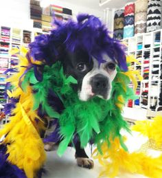 Swatch looks mortified . Boston Terrier Love, Boston Terriers, Terrier Dogs, Mardi Gras Beads, Mardi Gras Party, Mobile Mardi Gras, Mood Fabrics, Project Runway, Holidays And Events