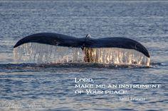 posters, peace, prayer, quote, quotations, photograph, Kodiak, Alaska, Marion Owen, whale, tale, humpback, saint francis