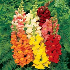 Snap dragons. I plant some of these every year. Blooms early and all season