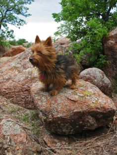 Australian Terrier-Smitty! Ok, Smitty is black but you get the idea