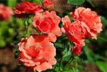 Coral Colored Rose With Name - Bing Images