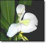 Cuba's National Flower