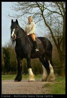 Wow wat groot! Hoe zou dat rijden? Cracker, world's tallest Shire horse. Big Country Size!