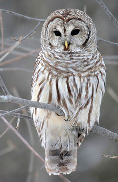 HQ RES barred owl wallpaper by Shaquan Walter Beautiful Owl, Animals Beautiful, Simply Beautiful, Owl Bird, Pet Birds, Owl Wallpaper, Iphone Wallpaper, Animal Wallpaper, Wallpapers Android