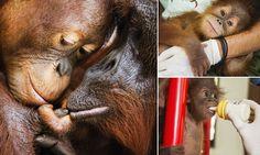 The orangutan orphans of Sumatra #DailyMail