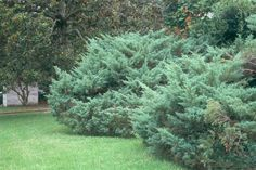 Pfitzer Juniper,Juniperus chinensis 'Pfitzeriana'.  NOTE: these are the junipers typically planted around house foundations from the 40's through the 70's.