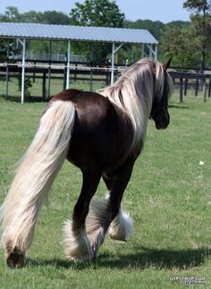 Chocolate Palomino Horses | Jazz | Gypsy Vanner Stallion for Sale | Chocolate Palomino