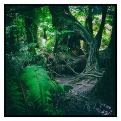Myrtle Beech (2016).  Among the attractions in the Maits Rest Rainforest Walk, on the Great Ocean Road is the many ancient Myrtle Beech trees. Their roots creep around the forest adding to the wonderful atmosphere that the dappled light from the dense canopy provides.  Apollo Bay, Vic. Australia. Words & Image: © Gary Light (9276, Nov 2016). Creative Commons: (CC BY-NC-ND 4.0).  #photography #nature #landscape #greatoceanroad #roadtrip #victoria #australia #maitsrest #forest #apollobay