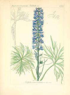 delphinium velutinum ...