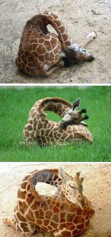 sleeping giraffes- I never thought about how they slept
