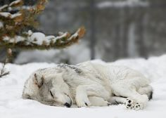 A sleeping wolf looks gentle, but when it wakes it becomes a mighty fighter