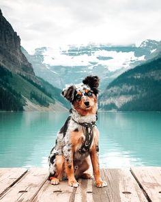 Mini Aussie Puppy, Aussie Puppies, Dogs And Puppies, Doggies, Weimaraner Puppies, Weenie Dogs, Dachshund Puppies, Baby Animals Pictures, Cute Animal Pictures