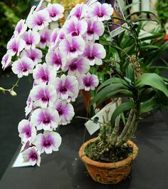 Royal Paradise Garden Rare Dendrobium Orchid Cartoon Compactum 1 Small Healthy Live Plant with Pot Orquideas Cymbidium, Types Of Orchids, Line Flower, Paradise Garden, Dendrobium Orchids, Purple Christmas, Plants Online, Orchid Plants, Live Plants