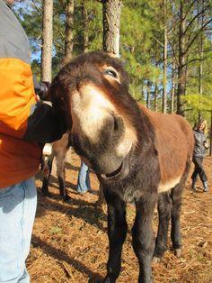Courtesy: Lake Nowhere Mule and Donkey Farm. Martin, TN (USA).