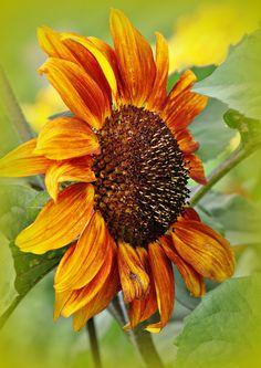 Sunflower | by Stella Blu