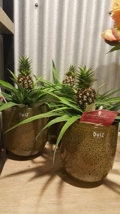 Bromelia ananas Floral Queen