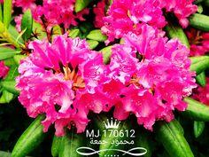 أزهار شجيرة الردندرة