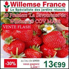 #missbonreduction; Vente flash: remise de 30% sur les 20 Fraisiers 'La Savoureuse de Willemse'® COV MA48 chez Willemse. http://www.miss-bon-reduction.fr//details-bon-reduction-Willemse-i200-c1831275.html
